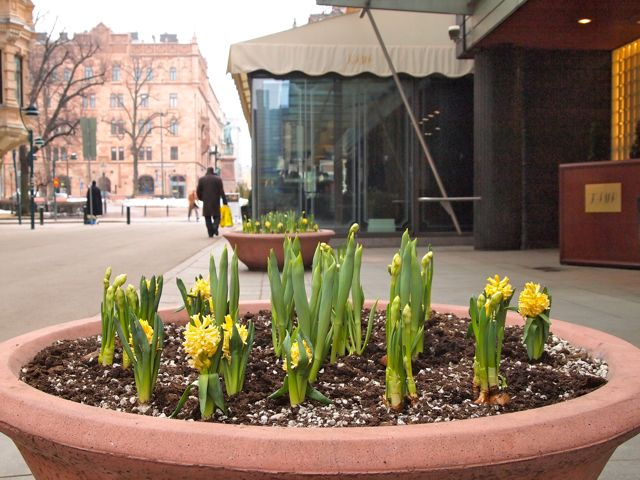 Click to see this image of yellow Hyacinth in Helsinki!